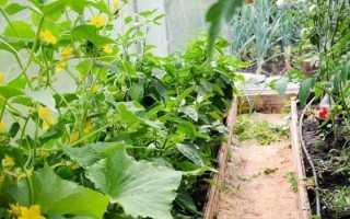 Огурцы и помидоры в одной теплице из поликарбоната: можно ли их вместе сажать и выращивать в одной теплице и как это правильно делать