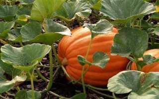 Выращивание тыквы в открытом грунте на Урале: лучшие сорта, особенности посадки и ухода, когда снимать урожай с грядки