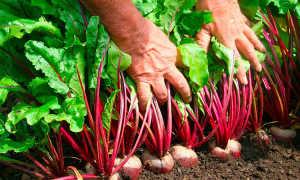 Нужно ли окучивать свеклу: надо ли в целом и в тот момент, когда она торчит из земли, общая агротехника выращивания