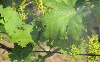 Подготовка Квадриса на винограднике: обработка, период ожидания, фото, видео