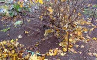 Уход за крыжовником осенью, подготовка к зиме