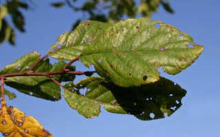 Clustersosporiosis: Грибчатые заболевания семян культуры на