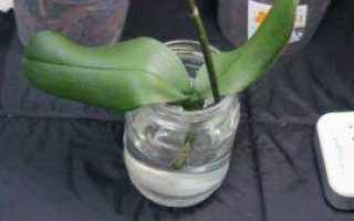 Как сэкономить орхидею без корней и с нарезанными листьями: правильное реанимация сухой и поврежденной корневой системы