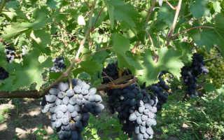 Виноград Кодрянка – описание сорта, фото, отзывы