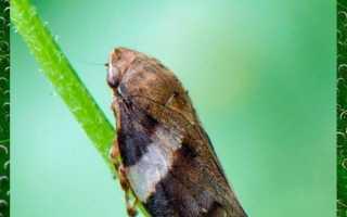 Средства борьбы с цикадами различных видов на деревьях, растениях