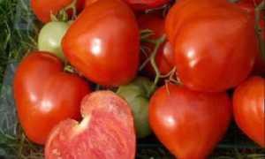 Томат утренняя роса: описание сорта, его урожайность, плюсы и минусы выращивания, фото плодов и отзывы фермеров