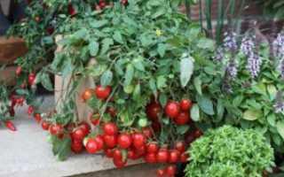 Томат Линда F1 – характеристики сорта, особенности выращивания, сроки созревания помидор и способы получения семян