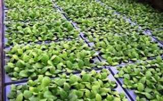 Табак Ориентал (Oriental): описание ориентальной группы сортов, как его выращивают и чем он хорош