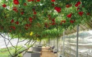 """Томат """"Спрут F1"""": характеристика и описание сорта помидор с фото, отзывы, помидорное дерево спрут в открытом грунте"""