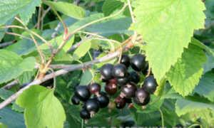 Лучшие сорта смородины черной для Ленинградской области, красная смородина для северо-западного региона