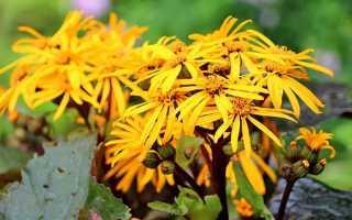 Бусульник: посадка и уход в открытом грунте, фото цветов