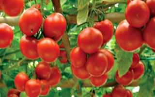 Помидор Колхозный урожайный: фото кустов и выращенных томатов, отзывы фермеров со стажем, плюсы и минусы сорта