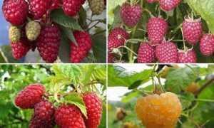 Малина ремонтантная: лучшие сорта для Подмосковья для открытого грунта: крупноплодные, самые урожайные, штамбовые, самые сладкие, ранние, среднеспелые, поздние