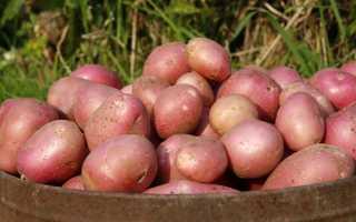 Картофель Аладдин: сортовые характеристики, урожайность, выращивание