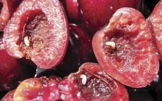 Черви в вишне: что делать, как с ними бороться и избавиться от глистов, почему так происходит, опасны ли они