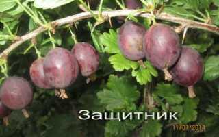 Самый сладкий крыжовник для Средней полосы России, Сибири, Урала, Северо-Запада, какие сорта самые крупные и сладкие