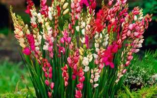 IXIA: посадка и уход в саду, растет в саду
