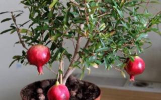 Комнатный гранат Бейби: разновидности сортов фрукта, характеристика комнатного азербайджанского, выращивание карликового из семян в домашних условиях