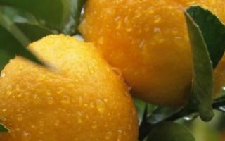 Как пересадить лимон в домашних условиях: когда и как правильно это делать, пошаговая инструкция по пересадке и размножению
