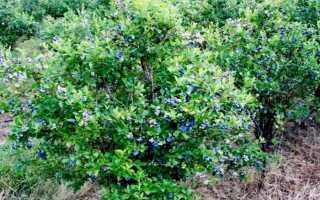 Жимолость Синий утес: описание сорта, какие опылители подходят, особенности выращивания и размножения