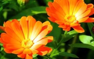 Календула: когда сажать, выращивать и ухаживать в земле