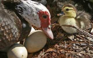 Когда индейки впервые начинают откладывать яйца в домашних условиях?