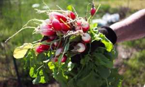 Расскажем, когда сажать редис второй раз летом: сроки повторной посадки, нюансы посева редиски на второй урожай