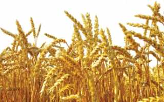 Сорт пшеницы Баграт: характеристика и описание озимого вида, ботаническая разновидность, отзывы об урожайности