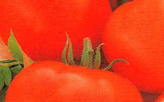 Томат дубок: характеристика и описание сорта, фото плодов и отзывы опытных фермеров, а также инструкция по выращиванию