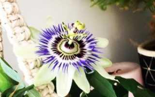 Пассифлора уход в домашних условиях, фото, посадка, выращивание из семян