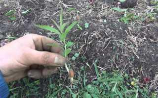 Как вырастить персик из косточки? 19 фото: Выращивание фруктовых деревьев в саду и дома