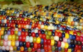 Болезни и вредители кукурузы: фото и описание мер борьбы с ними, болезни початков, Диплодиоз и Гельминтоспориоз, инсектициды