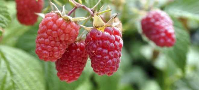 Малина ремонтантная — лучшие сорта для юга России: засухоустойчивые, с крупными ягодами, самые сладкие, наиболее урожайные