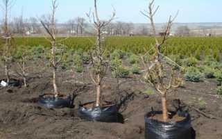 Когда преувеличивать вишни на новом месте, осень или весну и как это сделать правильно?