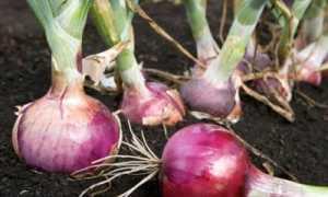 Лук Россана: описание сорта, отзывы опытных огородников об урожайности, фото севка, лежкость и особенности ухода