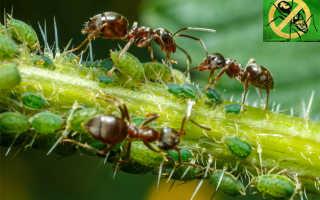 Как избавиться от муравьев в саду с народными, химическими ресурсами