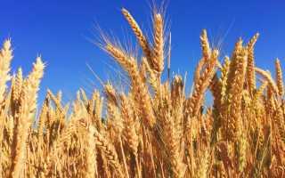 Технология возделывания ячменя: нормы высева 1 га в кг, срок посадки в кемеровской области, как сидерат осенью, недопустимые предшественники и уборка, уход