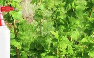 Осенняя борьба с вредителями и болезнями смородины, осеннее опрыскивание кустов