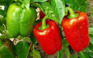 Перец – специфичность ухода, посадки и урожая
