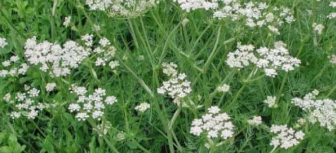 Тмин и укроп – это одно и тоже или нет, правда ли, что тмин – это семена укропа, чем они отличаются