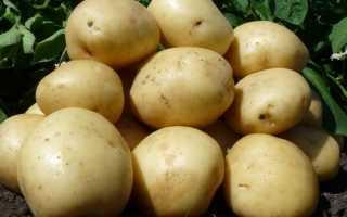 Картофель Нандина: описание сорта, фото, отзывы о вкусовых качествах и сроках созревания, характеристика урожайности и советы фермеров по выращиванию и уходу