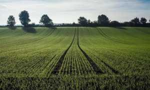 Влияние селитры на пшеницу (аммиачную): нормы удобрения при подкормке, применение при выращивании озимой, яровой культуры, надо ли кормить осенью, весной, летом