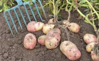 Глубина посадки картофеля: на какую рекомендуется сажать картошку, как регулируется глубина заделки клубней