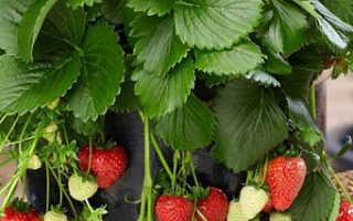 Земляника Тристан: описание и характеристика сорта садовой земляники, правила выращивания сорта Виктория и фото