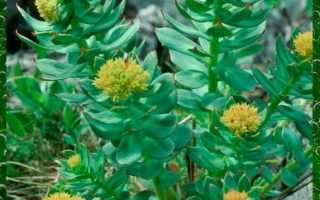 Выращивание и уход за родиолой розовой в саду из семян