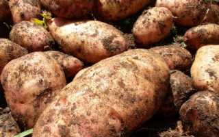 Картофель Лапоть: описание сорта, фото, отзывы о вкусовых качествах и сроках созревания, характеристика и как выглядит белая башкирская, посадочная картошка