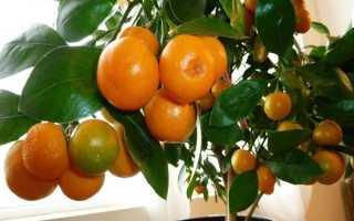 Как обрезать мандариновое дерево в домашних условиях, когда в первый раз обрезать комнатный мандарин, прищипывание и формирование кроны, надо ли