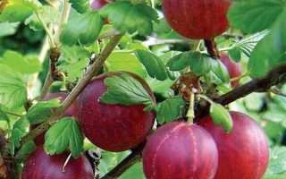 Крыжовник Хиннонмаки Ред (Hinnonmaki Rot): описание красного сорта, отзывы огородников, технология выращивания