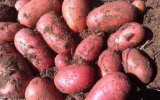 """Раннеспелый устойчивый к засухе сорт картофеля """"Ред Леди"""" для долгого хранения – Агроном Эксперт"""