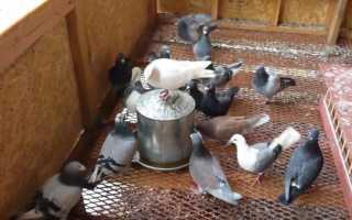 Как сделать поилку для голубей своими руками